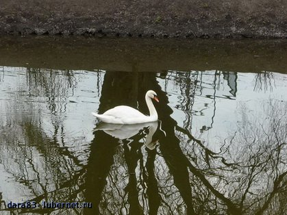 Фотография: лебедь.jpg, пользователя: dara83