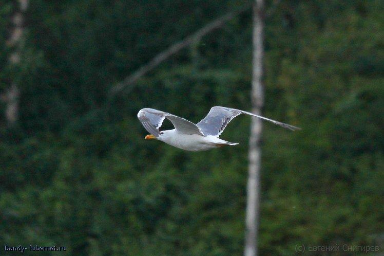 Фотография: Чайка, пользователя: Dandy