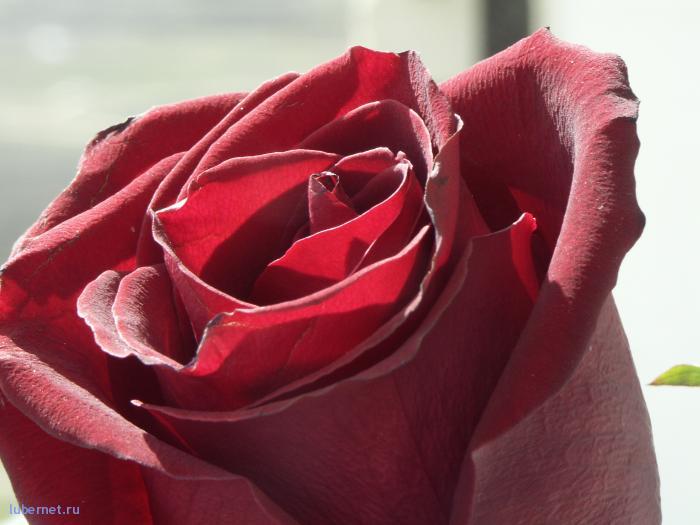 Фотография: роза. просто роза, пользователя: satirus_I