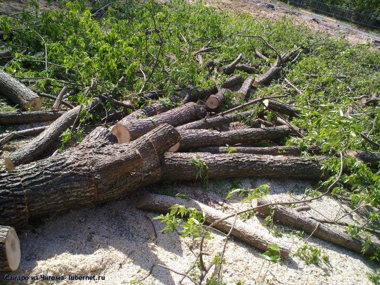 Фотография: Вырубленные деревья на улице Толстого - у дома №31.jpg, пользователя: Сандро из Чигема