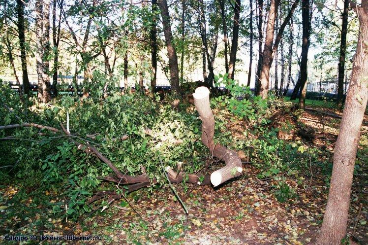 Фотография: Спиленное якобы аварийное дерево.jpg, пользователя: В@cильичЪ