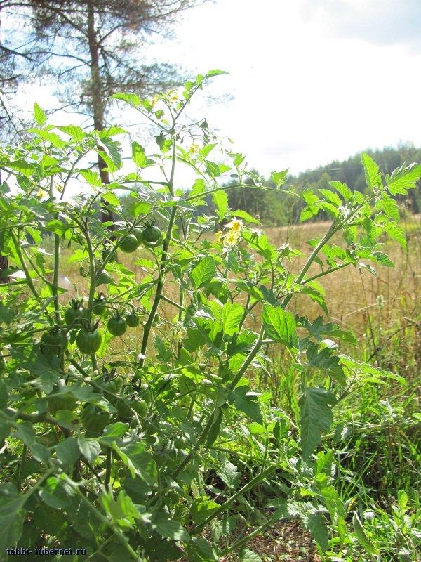 Фотография: Лесные помидоры, пользователя: tabbi