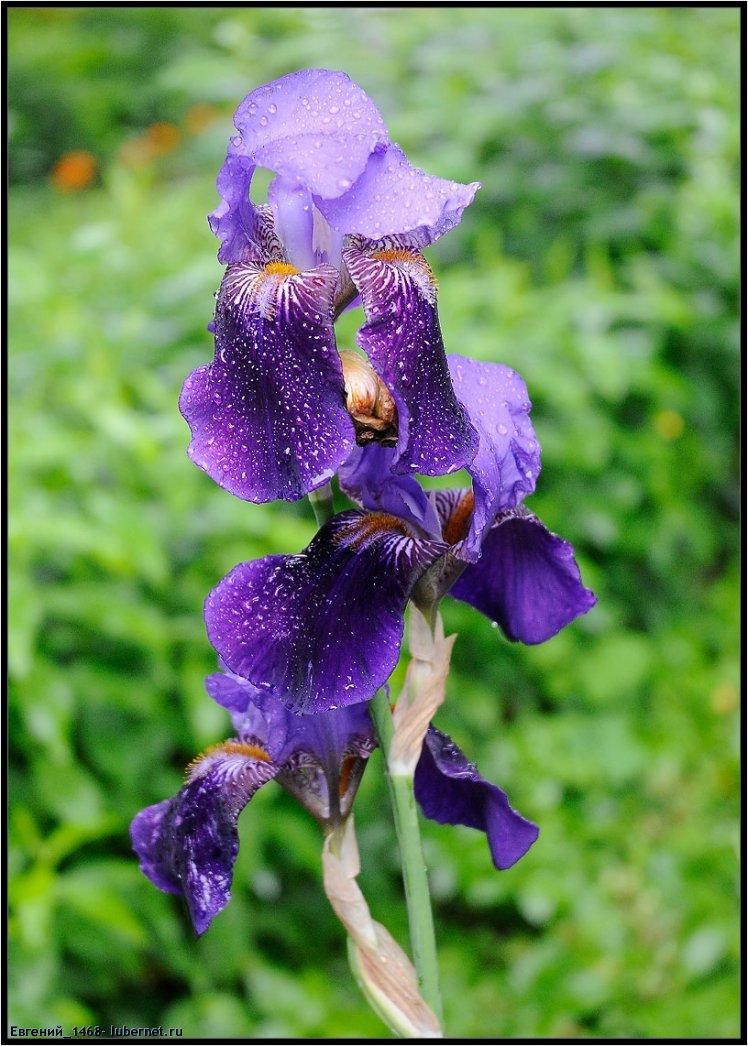 Фотография: Фиолетовый ирис.jpg, пользователя: Евгений_1468
