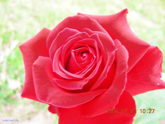 Фотография: роза, пользователя: lexa__007