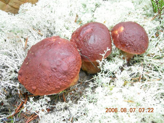 Фотография: белые грибочки, пользователя: lexa__007