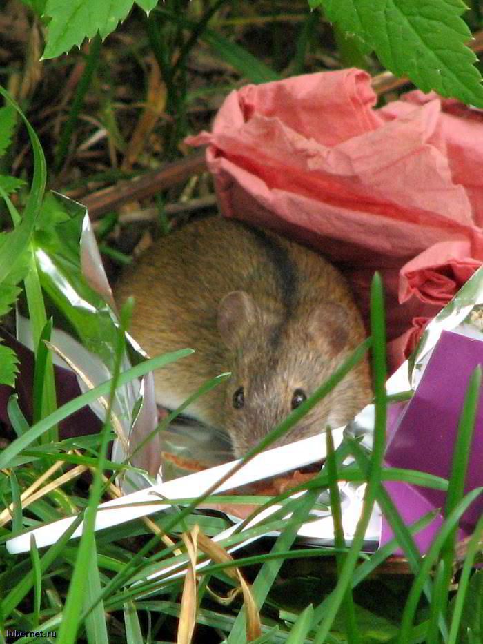 Фотография: Мышка, пользователя: RUS_so