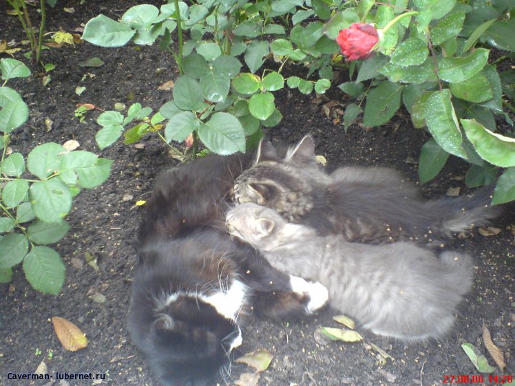 Фотография: Кошачье семейство в розах, пользователя: Swatch