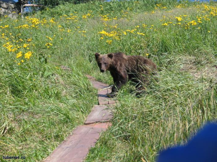 Фотография: Баргузинский мишка, пользователя: Alёнka