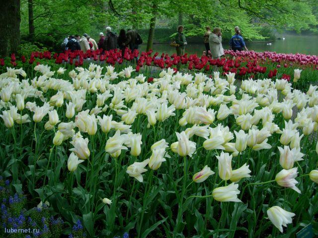 Фотография: Голандские тюльпаны, пользователя: Enka