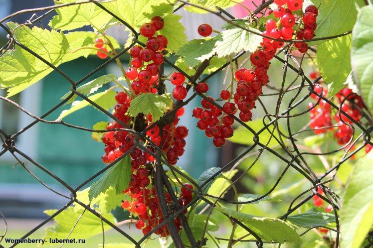 Фотография: местный виноград), пользователя: Womenberry
