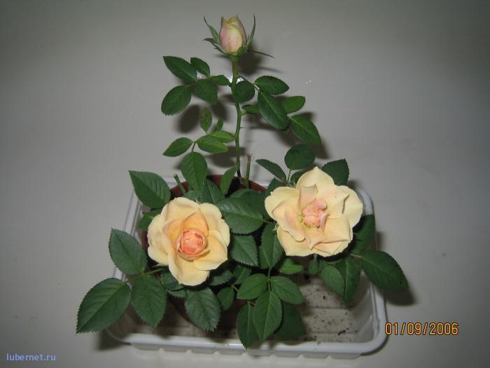 Фотография: роза во всей красе, пользователя: Елена_2512