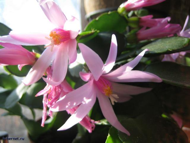 Фотография: рипсалидопсис розовый, пользователя: Елена_2512