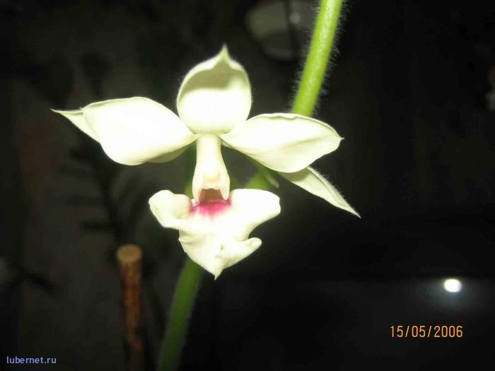 Фотография: орхидея - Каланта, пользователя: Елена_2512