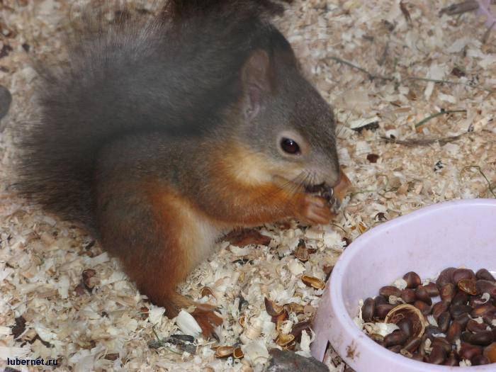 Фотография: Белка песенки поет, да орешки все грызет, пользователя: Sima