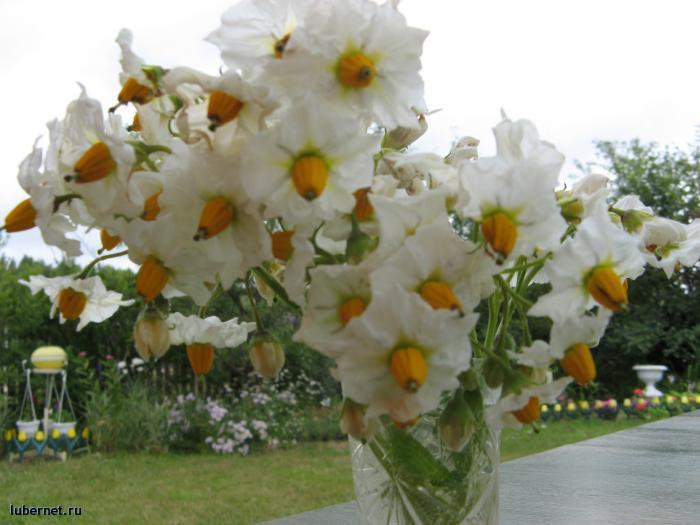 Фотография: Ой, цветет картошка, пользователя: Sima