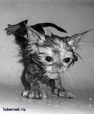 Фотография: Мокрый котенок - страшный котенок, пользователя: SVLANK