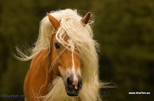 Фотография: Блондинка лошади, пользователя: SVLANK