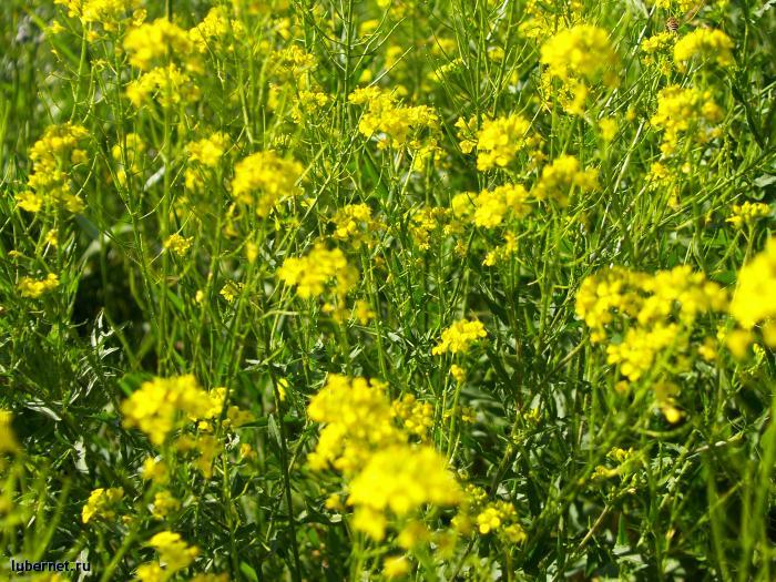 Фотография: Жёлтая палитра лета..., пользователя: orbj