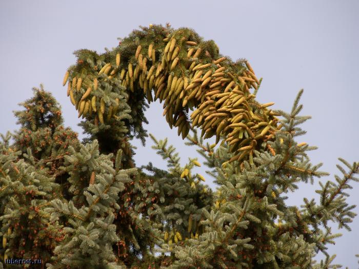 Фотография: усыпная ёлка...!!!, пользователя: orbj