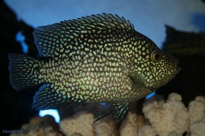 Фотография: ещё рыбка, пользователя: 4IBIS