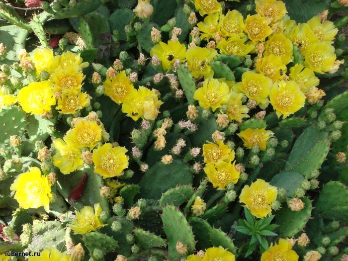 Фотография: Цветущий кактус, пользователя: Джордж