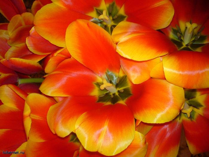 Фотография: Тюльпаны, пользователя: Funny Bunny