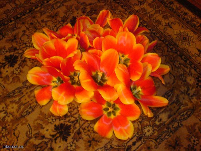 Фотография: тюльпаны 1, пользователя: Funny Bunny