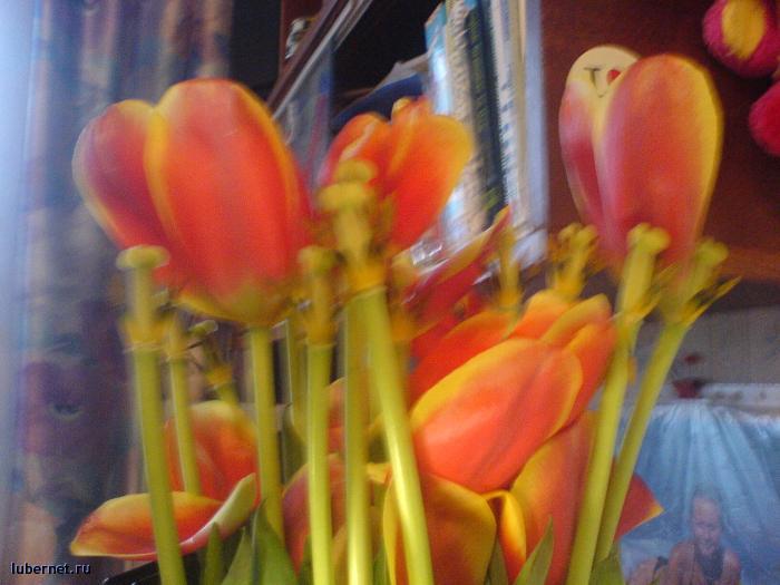 Фотография: тюльпаны капут, пользователя: Funny Bunny