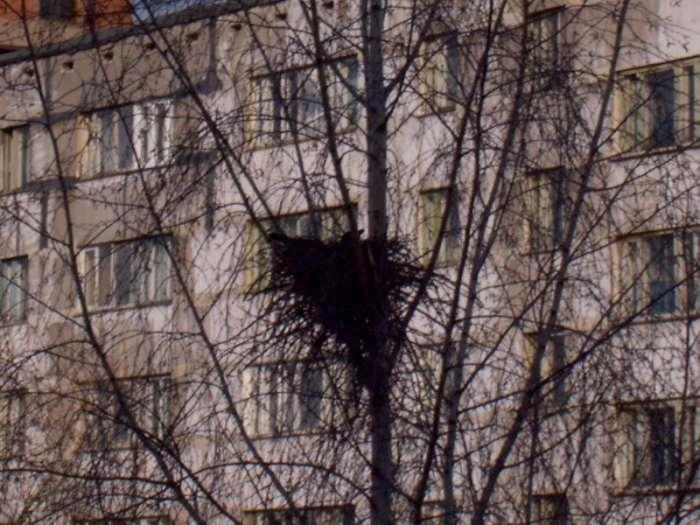 Фотография: Гнездо вороны, пользователя: Flaw