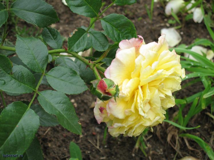 Фотография: А роз у меня много, пользователя: gorka
